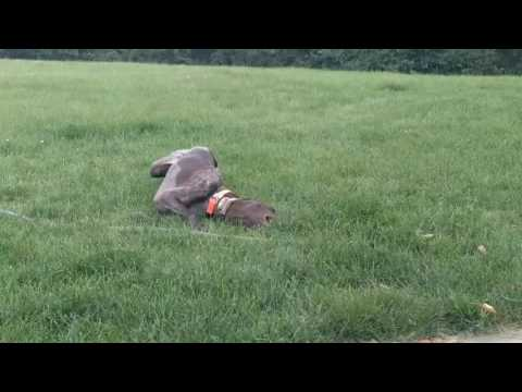 Our German Shorthaired Pointer rolling around in the grass!