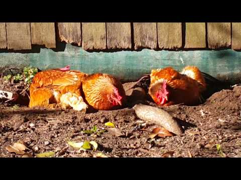How to Stop Chicken Mites / Lice Naturally - by taking a Dust Bath