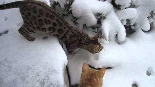 Snow Cats - Bengal