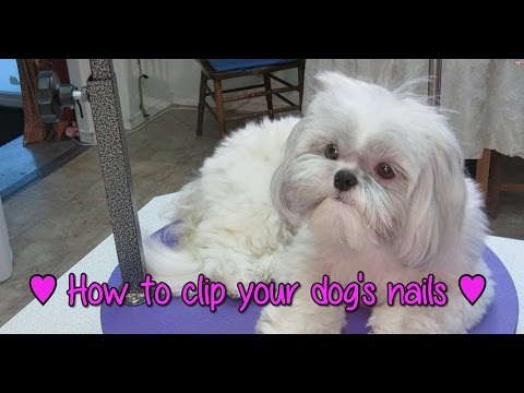 How to clip your dog's nails - How to groom your Shih Tzu