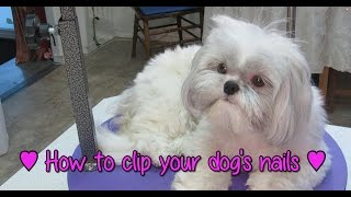 How To Clip Your Dog S Nails How To Groom Your Shih Tzu