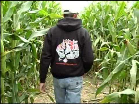 Cool Spring Corn Maze