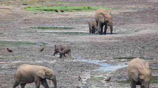 Determined baby elephant learns to charge by chasing after several birds in Central African Republic
