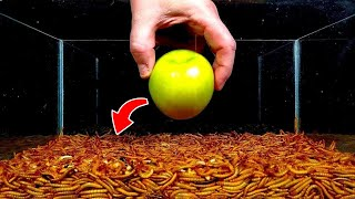 Watch 10,000 Mealworms DEVOUR This Apple!