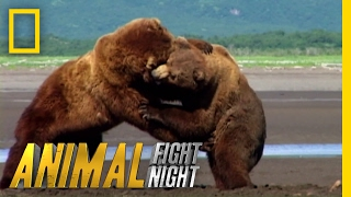 Download Get Ready For Grappling Grizzlies | Animal Fight Night Video