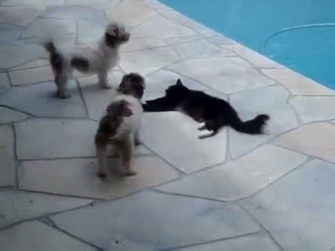 Cat pushes dog into swimming pool