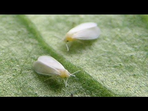 How To Build A Simple White Fly Trap And Identify White Flies