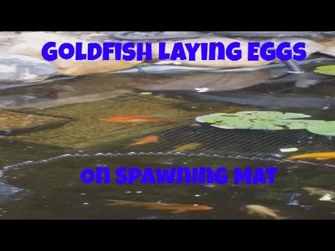 Goldfish Laying It's Eggs