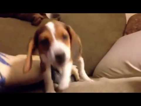 Cutest Puppy Bark Ever - She speaks before First Jump Off Couch
