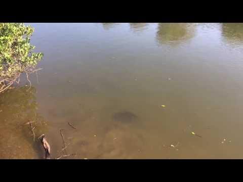 Bull shark in the shallows