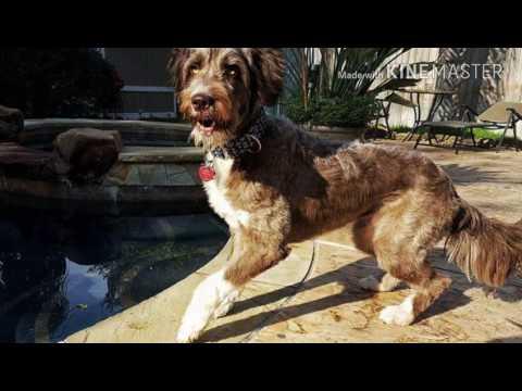 My Service Dog Hazel's Purpose