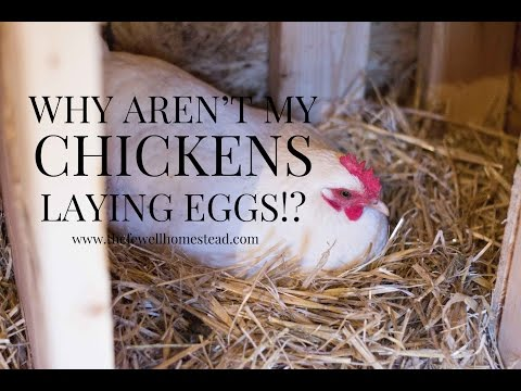 Why Aren't My Chickens Laying Eggs?!