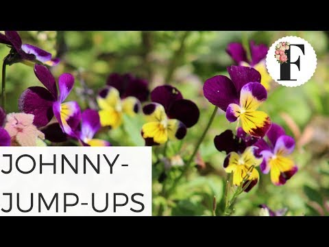 Johnny Jump Ups: Viola Wild Pansy Growing Flowers from Seed Gardening for Beginners Cut Flower Farm