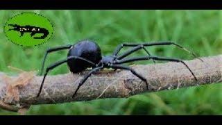 Download The Black Widow Spider Video