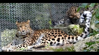 Endangered Amur Leopard Cub Plays with Mum N Dad at Marwell Zoo