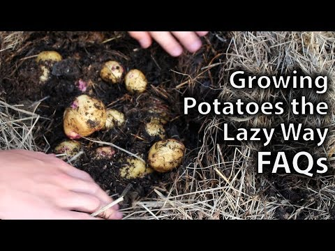 Growing Potatoes the Lazy Way FAQs
