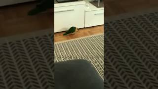 Parrot Dances in Front of TV