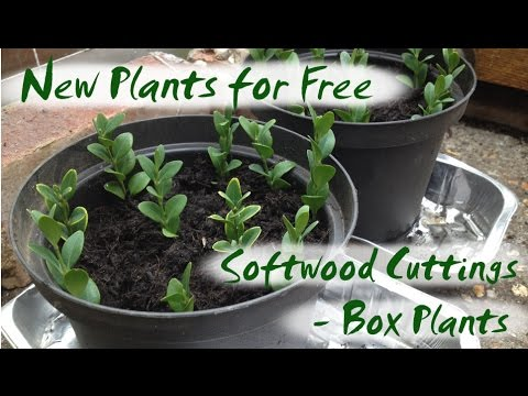New Plants for Free - Softwood Cuttings from Box Plants