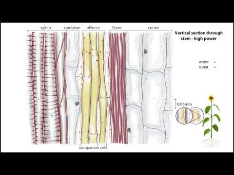 Animation - Transport of water and sugar in plants