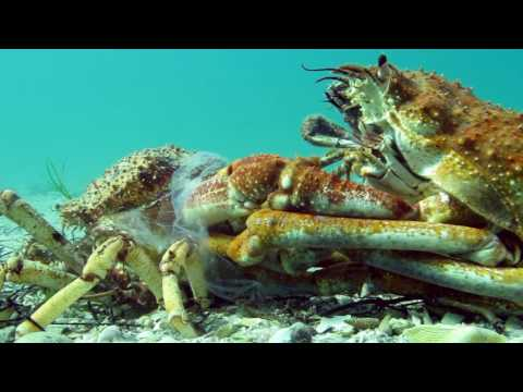 Insane Timelapse Footage of Molting Giant Spider Crab Blairgowrie Australia 2016