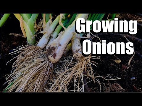 3 Tips for Growing Onions & How to Start Onion Seeds Inside and Outside