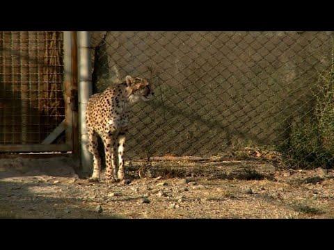 Iran moves to save last 'mascot' Asiatic cheetahs