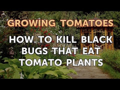 How to Kill Black Bugs That Eat Tomato Plants
