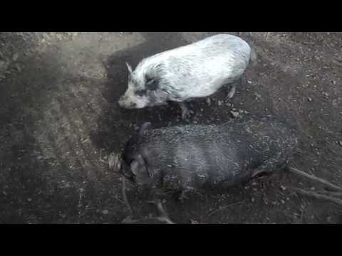 Vietnamese Pot Bellied Pigs