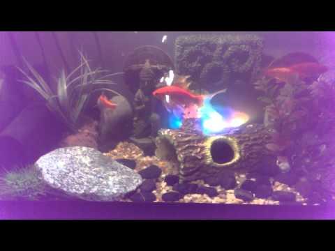 Healthy happy Goldfish! 30 gal. tank