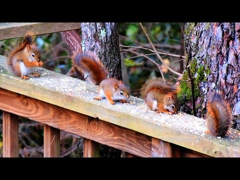 Six Cute Baby Red Squirrels