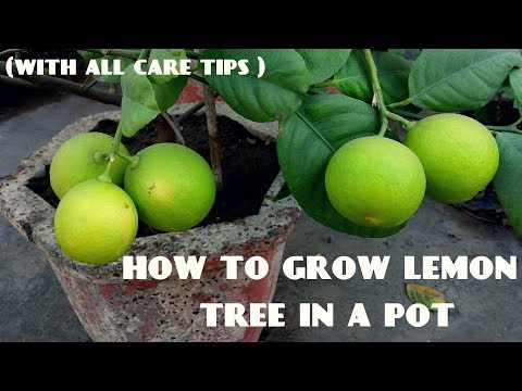 How to Grow Lemon Tree (With all Care Tips)