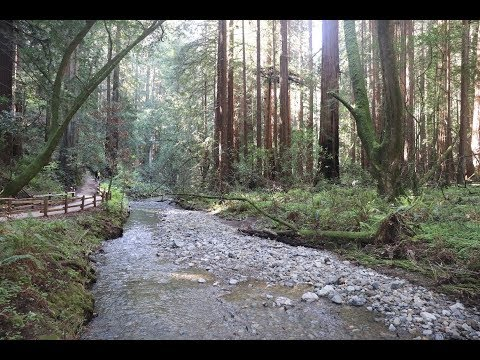 The Redwoods of Muir Woods