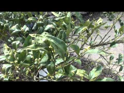 Navel orange citrus tree pushing out leaves and ready to blossom, Arizona citrus