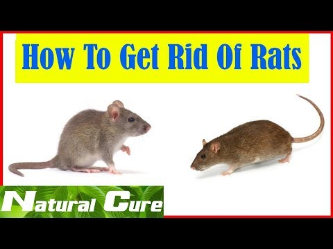 Natural - Cure How to Get Rid of Rats Naturally - 8 Home Remedies to Get Rid of Rats