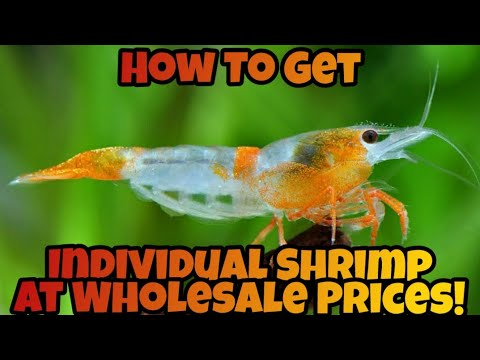 Pay Less & Buy Cherry Shrimp ( Neocaridina ) Straight From the Farmer - Thank You Tampa Aquaculture!