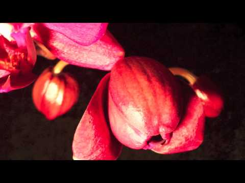 Orchid Time Lapse - Time Lapse of an Phalaenopsis Orchid Flowering