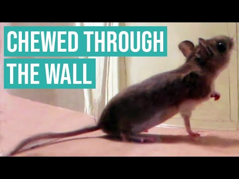 MOUSE CHEWS THROUGH APARTMENT WALL