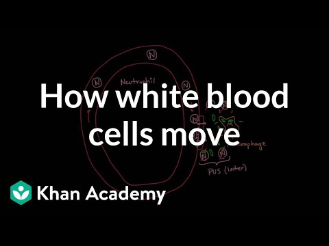 How white blood cells move around   Immune system physiology   NCLEX-RN   Khan Academy