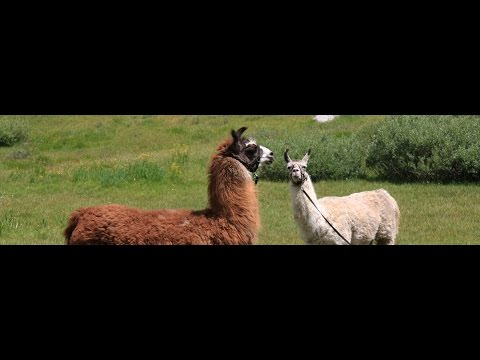 Alberta Bill 6: Alpaca more dangerous than quarry work?