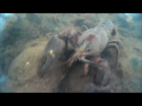 A Monster Crayfish..#SRP (Bonus video)