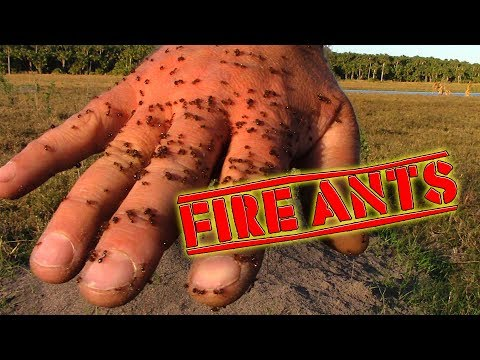 Fire Ants Sting My Hand