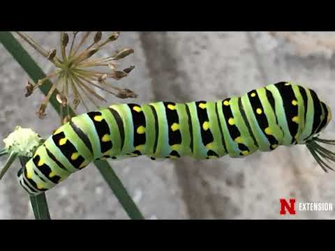 Caterpillar ID