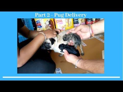 Part 2 - Pug Delivary  - Bhola Shola
