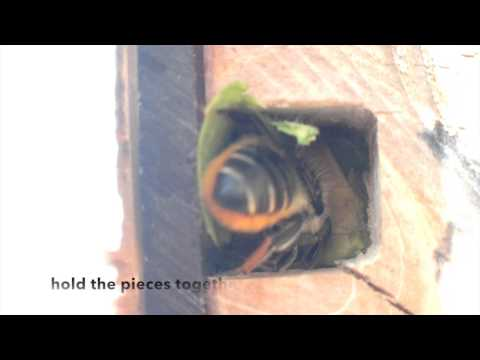 Leaf cutter solitary bees using Nurturing Nature observation nest box