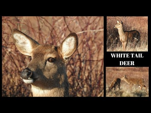White Tailed Deer of Sachuest Point ~ Middletown Rhode Island