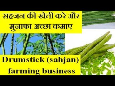 Drumstick tree (sahjan) farming business  सहजन की खेती करे और मुनाफा अच्छा कमाए