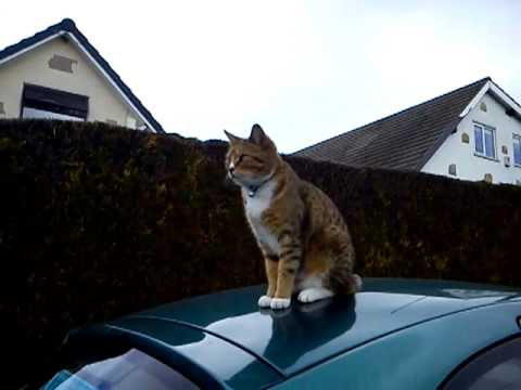 Cat on a car roof