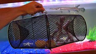 Feeding My Pet Alligator Gar using Fish Trap!