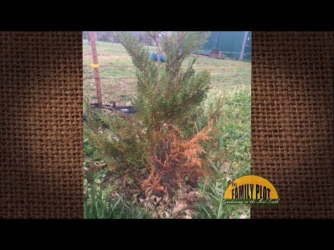 Q&A – Why does my leyland cypress keep dying?