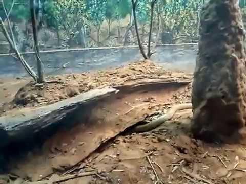 King Brown Snake digging a nest!